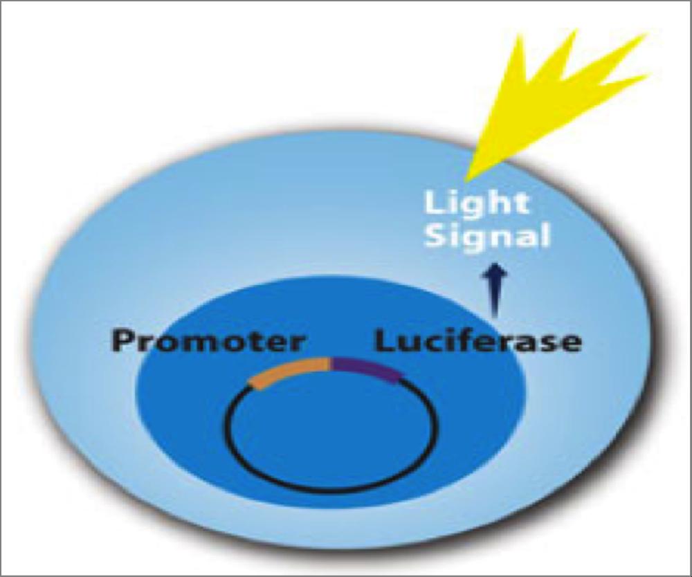 Nrf2 Luciferase Assay System