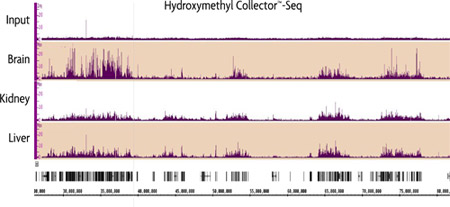 Genome-wide analysis of 5-hmC in Mouse Brain, Kidney and Liver using Hydroxymethyl Collector–Seq.