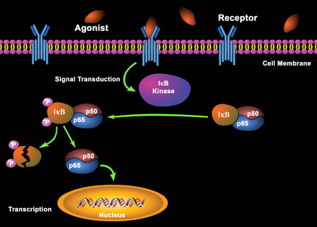 Diagram of IkBa phosphorylation which leads to NFkB translocation & activation