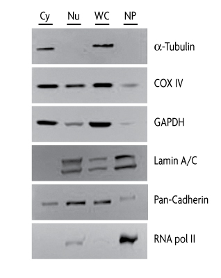 Western blots of specific proteins from cellular fractions obtained with the Nuclear Extract Kit.