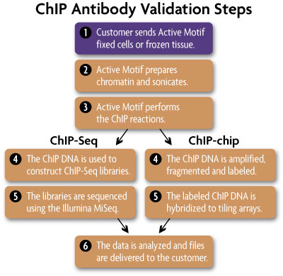 Flowchart of illustrating the ChIP-Seq and ChIP-chip procedures used by Active Motif Epigenetic Services to validate antibodies for use in ChIP, ChIP-Seq and ChIP-chip