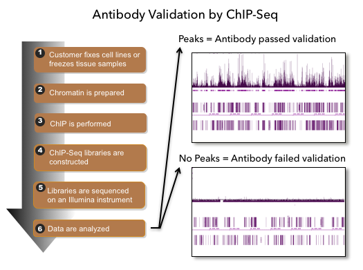Flowchart of illustrating the ChIP-Seq procedure used by Active Motif Epigenetic Services to validate antibodies for use in ChIP and ChIP-Seq