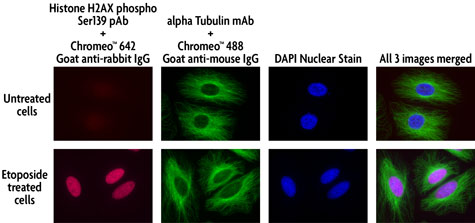 Multi-color staining of Phospho H2AX and tubulin using Chromeo 642 and Chromeo 488 secondary antibodies