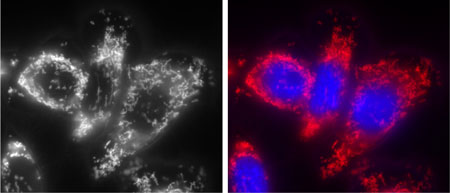 Mitochondria and nuclei stained in live HeLa cells using the Chromeo Live Cell Mitochondrial Stain and Hoechst nuclear stain