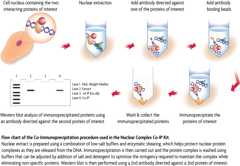 Active Motif » Nuclear Complex Co-IP Kit (Co-Immunoprecipitation ...