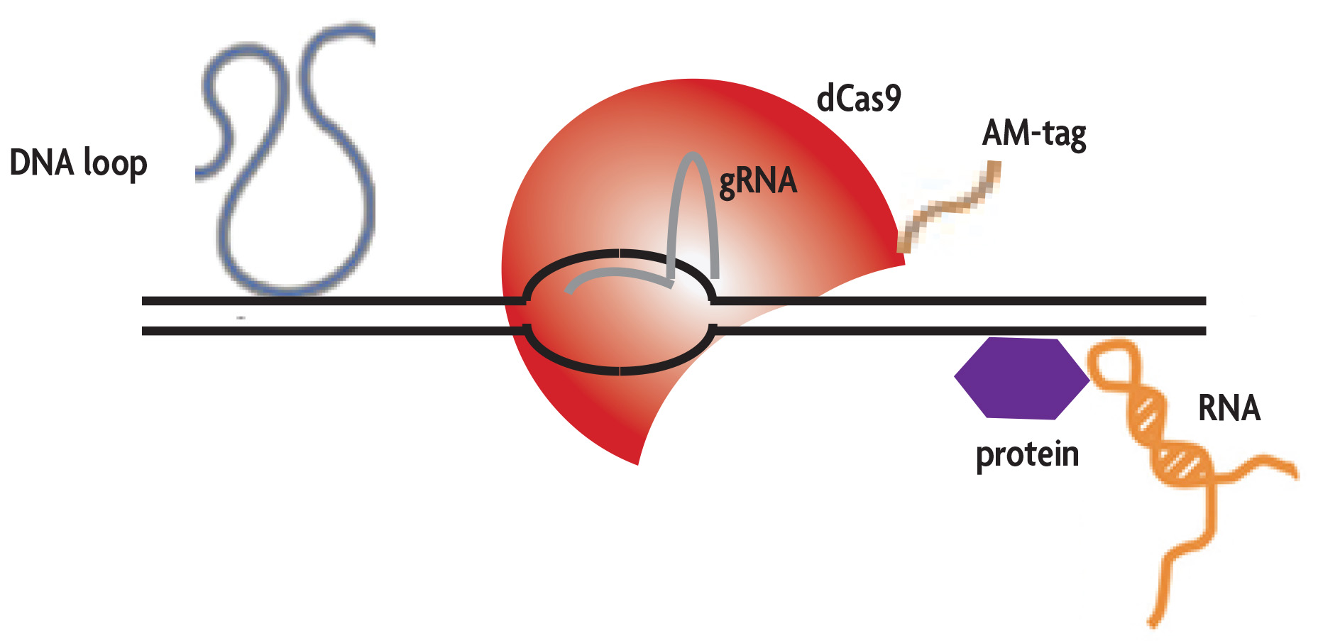 enChIP identified DNA binding interactions