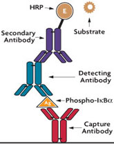 Schematic of Active Motif's FunctionELISA IkBa assay for quantifying phosphorylated I-kappa-B-alpha protein