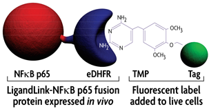 Illustration depicting specific fluorescent labeling of NFkB p65 using Active Motif's LigandLink Universal Labeling