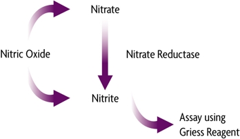 Schematic showing the breakdown of nitric oxide into nitrate then nitrite, assayed using Griess Reagent