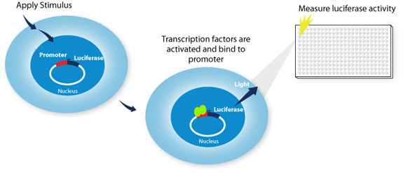 Diagram depicting the luciferase activity in response to transcription factor binding to a promoter on the LightSwitch Promoter Reporter vector