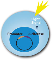 LightSwitch Luciferase Assay Kits