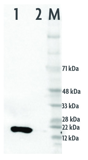 Western blot of Histone H3K9ac-HRP directly conjugated antibody