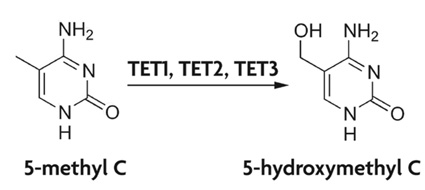 TET converts 5-mC into 5-hmC.