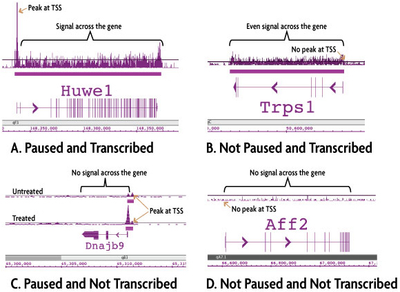 ChIP-Seq data generated by Active Motif Epigenetic Services shows four distinct transcription patterns based on RNA Pol II occupancy