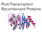 Post Transcription Recombinant Proteins