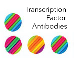 Transcription Factor Antibodies