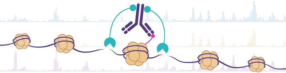 Antibody-Based Tagmentation Notes