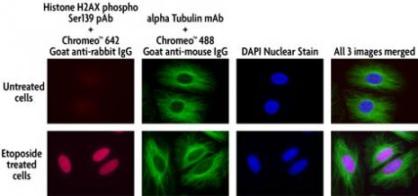 Concurrent, multi-color staining of Phospho H2AX and tubulin using Chromeo 488 and Chromeo 494 secondary antibodies in untreated and etoposide-treated HeLa cells.