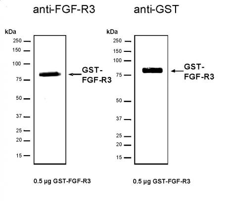 Recombinant FGF-R3 protein, active analyzed by SDS-PAGE gel.
