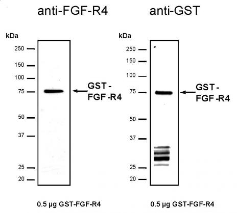 Recombinant FGF-R4 protein, active analyzed by SDS-PAGE gel.