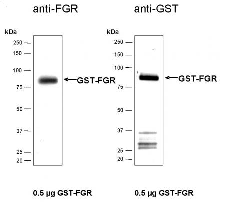 Recombinant FGR protein, active analyzed by SDS-PAGE gel.