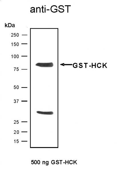 Recombinant HCK protein, active analyzed by SDS-PAGE gel.