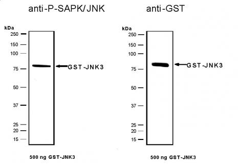 Recombinant JNK3 protein, active analyzed by SDS-PAGE gel.