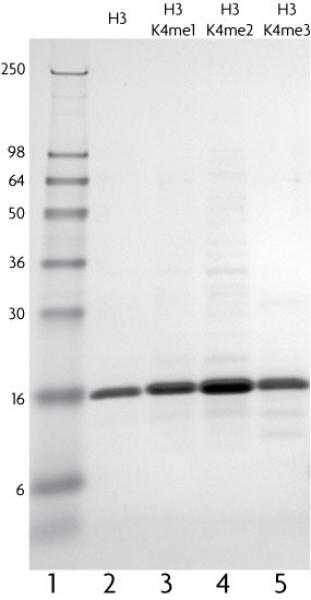Recombinant Histone H3 monomethyl Lys4 analyzed by SDS-PAGE gel.