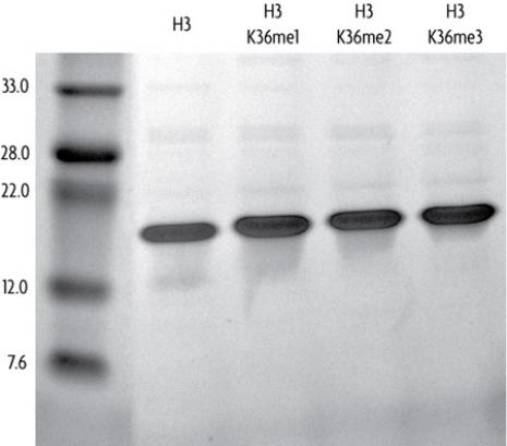 Recombinant Histone H3 trimethyl Lys36 analyzed by SDS-PAGE gel.