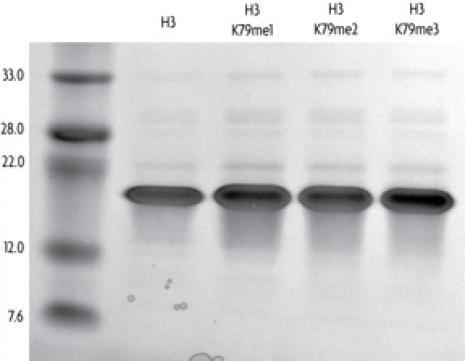 Recombinant Histone H3 monomethyl Lys79 analyzed by SDS-PAGE gel.
