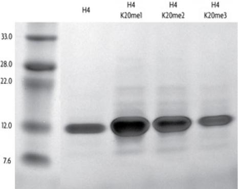 Recombinant Histone H4 analyzed by SDS-PAGE gel.