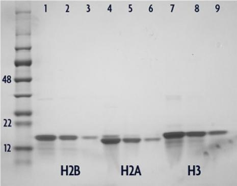 Recombinant Histone H2A analyzed by SDS-PAGE gel.
