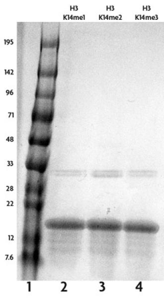 Recombinant Histone H3 dimethyl Lys14 analyzed by SDS-PAGE gel.