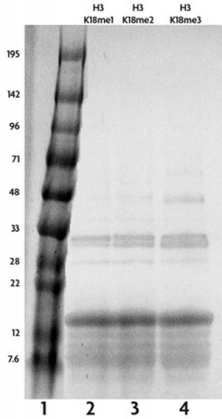 Recombinant Histone H3 monomethyl Lys18 analyzed by SDS-PAGE gel.