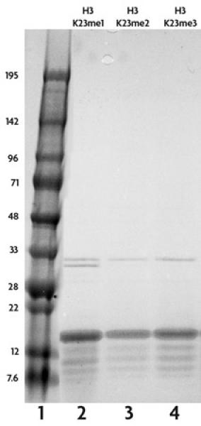 Recombinant Histone H3 monomethyl Lys23 analyzed by SDS-PAGE gel.