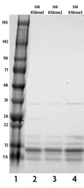 Recombinant Histone H4 trimethyl Lys16 analyzed by SDS-PAGE gel.