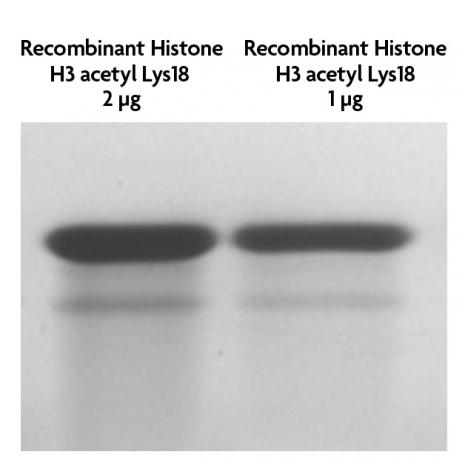 Recombinant Histone H3 acetyl Lys18 analyzed by SDS-PAGE gel.