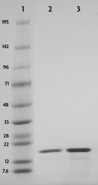 Recombinant Histone H3 phospho Thr3 analyzed by SDS-PAGE gel.