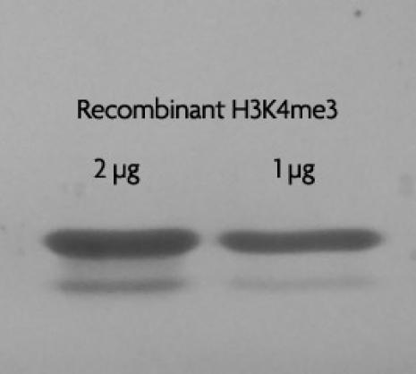 Recombinant Histone H3 trimethyl Lys4 analyzed by SDS-PAGE gel.