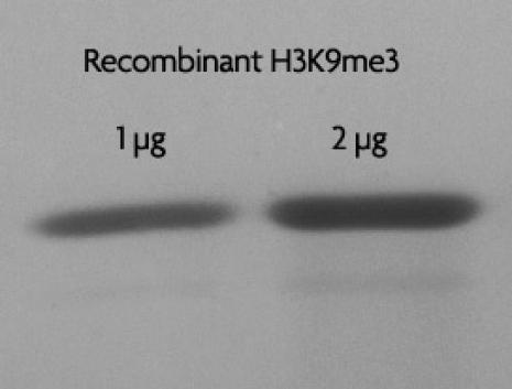 Recombinant Histone H3 trimethyl Lys9 analyzed by SDS-PAGE gel.