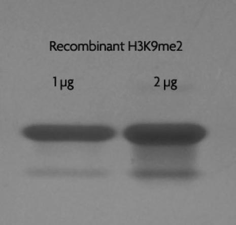 Recombinant Histone H3 dimethyl Lys9 analyzed by SDS-PAGE gel.
