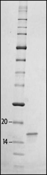 SDS-PAGE gel analysis of Recombinant Histone H3 pan-acetyl protein.