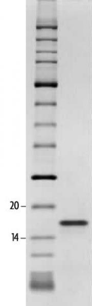 SDS-PAGE gel analysis of Recombinant Histone H3K27ac protein.