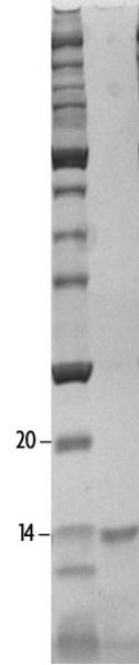 SDS-PAGE gel analysis of Recombinant Histone H4K16ac protein.