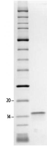 SDS-PAGE gel analysis of Recombinant Histone H2A.Z protein.