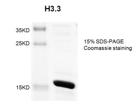 Recombinant Histone H3.3 Coomassie gel
