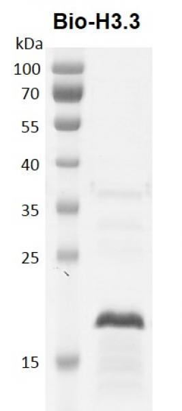 Recombinant Histone H3.3 - biotinylated, protein gel.