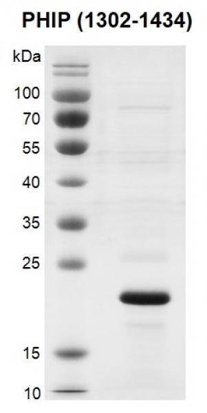 Recombinant PHIP (1302-1434) protein gel.