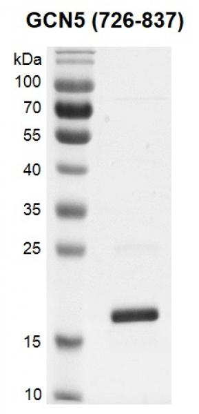 Recombinant KAT2A (GCN5) (726-837) protein gel.