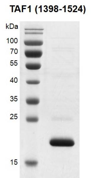 Recombinant TAF1 (1398-1524) protein gel.